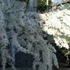 春は・・・桜だけではありません・・・我が家のお花たち