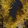 【北海道-札幌】20161029やった!北大の金葉祭(こんようさい)やっと見た!!北海道大學金葉祭~夜之銀杏大道~終於看到啦!!!!
