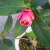 海棠椿 ハイドゥン Camellia amplexicaulis Cohen Stuart