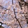 乾通り一般公開・皇居周辺の桜