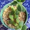 🌵多肉植物  秋の植え替え作業㉙🌵