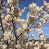 満開!!早咲きの桜 & ミモザ