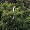 塒の木で羽ばたく白鷺