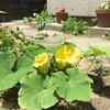 南瓜の花黄なり