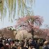 しだれ桜  円山公園 &高瀬川  京都    2018年の桜-2   300325