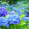 紫陽花と香り