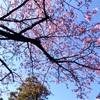 八芳園で春を先取り!早咲きの桜と梅を同時に楽しめる日本庭園