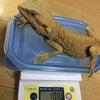 フトアゴ達の身体測定③
