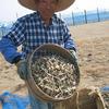 収穫期を迎えた越前・三里浜「砂丘花らっきょう」