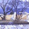 白鳥の飛来地…瓢湖