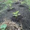 パプリカとピーマンをやっとこさ定植する。