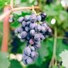 マルベックワインとは?産地や味わいを徹底解説!