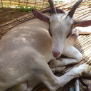 腰麻痺になった子ヤギのアルタ
