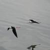 千葉県谷津干潟の鳥たち