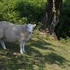 羊、羊、羊だらけのウェールズ