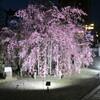 和歌山城の桜、少しだけ咲いていました