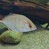 カイワリ Kaiwarinus equula