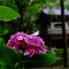 28.鎌倉 浄智寺 紫陽花