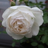バラの開花が本格的に始まりました。