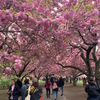 ブルックリン・ボタニック・ガーデンで、楽しい桜祭り。