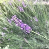 ラベンダー グロッソの成長記録と開花!~地植え育成2年で幅1m以上に巨大化!