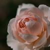 リバーサルフィルムで薔薇