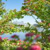 茂ってきた5月の花:メイフラワー