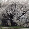 312熊本・南阿蘇村の一心行の大桜