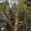 長楽寺の散り椿