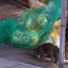 散歩:猫が生ごみを漁る朝