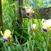 ジャーマンアイリスの花びらが開いた