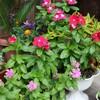 義母の花 。父の山頭火。