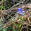 秋の野の花  リンドウがいっぱい