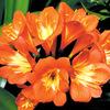 今日の誕生花「クンシラン」ランと付くがラン科じゃない花!