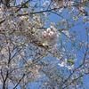 2018-04-20 桜はだいぶ散りました。・・でも・・。