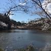 茂原公園桜3〜7分咲き