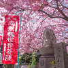 毎日一枚。「春到来!咲き誇る川津桜。」おすすめ度:☆☆☆☆ ~写真で届ける伊勢志摩観光~