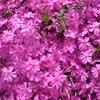 芝桜の種類、特徴のまとめ