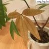 #13 パキラ 葉が茶色く枯れる