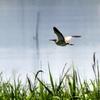 梅雨の晴れ間に飛ぶヨシゴイ