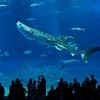 【沖縄美ら海水族館】巨大水槽に泳ぐジンベイザメ・ブラックマンタに釘付け!