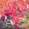 燃える紅色:高岡古城公園