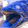お爺さんとお婆さんの区別がつかない『沼津港深海水族館』