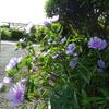 今朝の庭、梅雨に咲く花