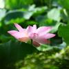 鎌倉鶴岡八幡宮の蓮の花の撮影リベンジ♪