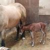(動画)仔馬が生まれました!