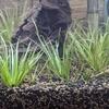 ミナミスマエビ水槽:8日目照明の交換