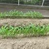 やまびこ:畑は順調、お世話も順調