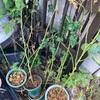 スタンダード仕立てのバラを作ろうとトゲナシノイバラを挿し木