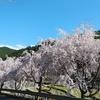 桜を見れば思い出す~♬